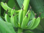 Banana The World's Agricultural Bliss